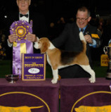"How many times has a Beagle won Westminster Kennel Club's ""Best in Show"" award?"