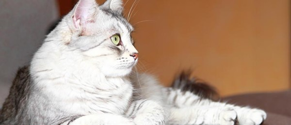 1465797681-6566-female-of-siberian-cat1