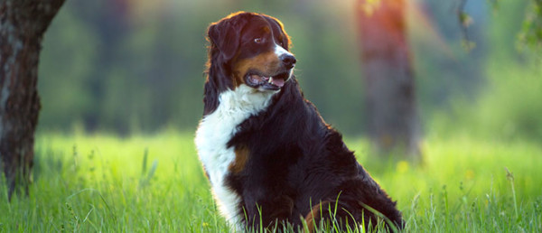 1467948589-3377-nese-mountain-dog-1-715by307