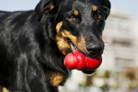 Kong Toys and the Benefits of Chewing for Dogs