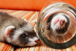 How to Ferret-Proof Your Home?