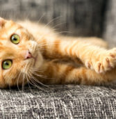 Cat-Scratch Disease Is Making People Sicker, According to the CDC