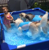 Adorable Toddler Gets Caught In A Husky Pool Party, Hilarity Ensues