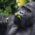 Humans Are Wiping Out Their Closest Relatives