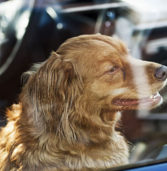 Tennessee Makes It Legal to Save Dogs Who Are Locked in Hot Cars