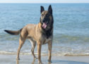 Experts Fear 'Max' Will Cause a Surge in the Popularity of Belgian Malinois