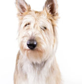 American Kennel Club Welcomes Three New Breeds This Week