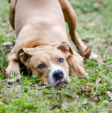 Shelter Gives Away Pit Bulls, Angering Both Lovers and Haters of the Breed