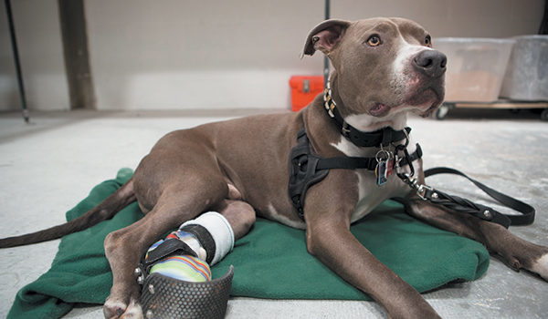 Animal Ortho Care is Innovating Prosthetic and Orthotic Devices for Dogs