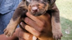 Nashville Rescue Caring for Neglected Puppies, Including One Found with Maggots in Its Eyes