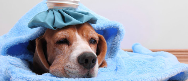 1467948284-8792-Does-my-dog-have-a-cold1