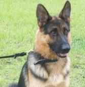 A Fatal Summer for Police Dogs: Four Have Died From Being Left in Hot Cars