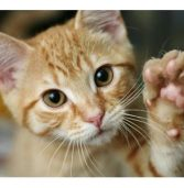 Is Your Cat Left-Pawed?